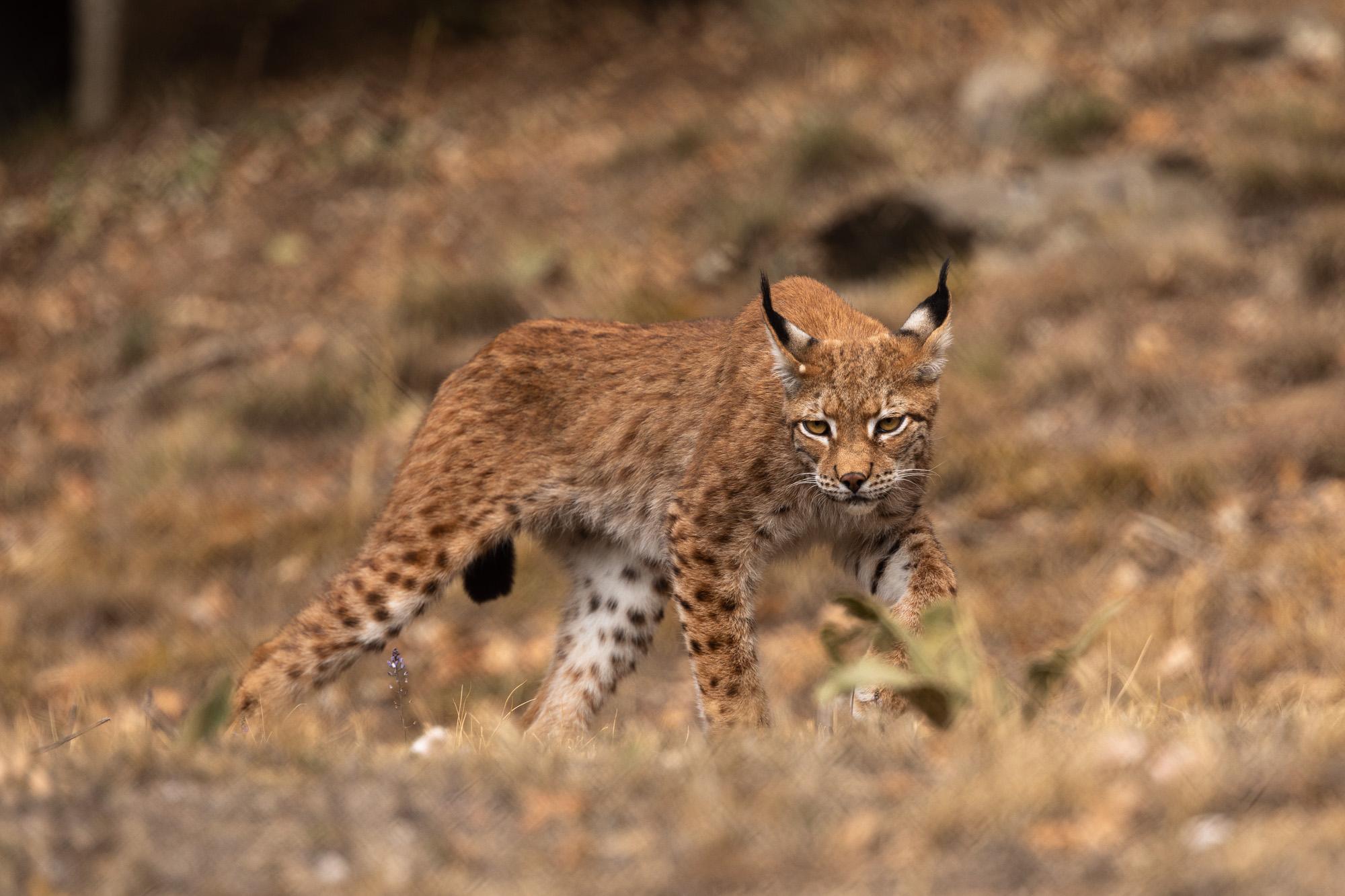 Λύγκας: Πως το εξαφανισμένο άγριο ζώο «επέστρεψε» στην Ελλάδα