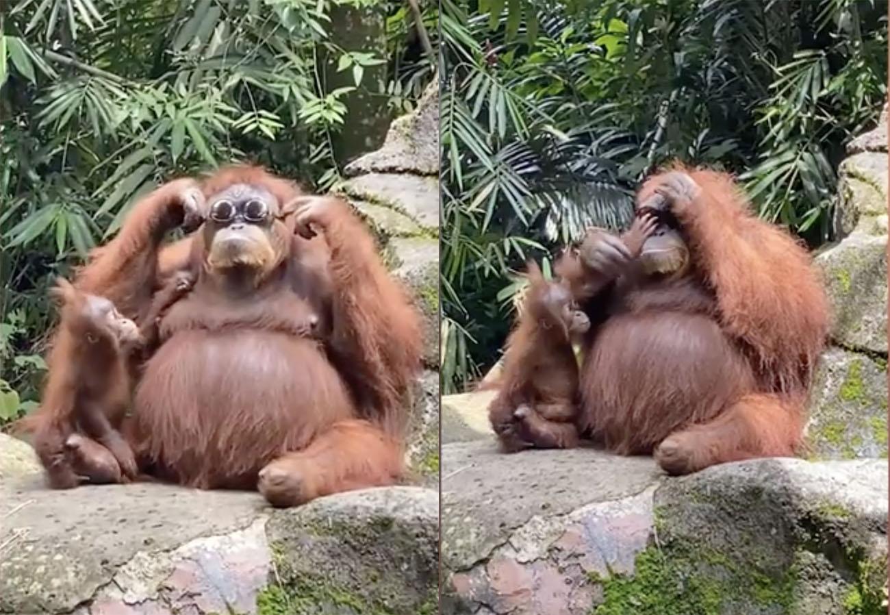 Ο στιλάτος πίθηκος που «ερωτεύτηκε» ένα ζευγάρι γυαλιά ηλίου