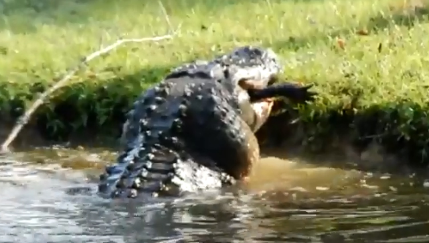 ΗΠΑ: Viral έγινε βίντεο με έναν γιγαντιαίο αλιγάτορα να καταπίνει κροκόδειλο 2 μέτρων