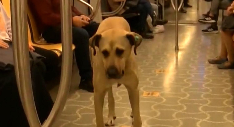 Τουρκία: Ο σκύλος Μπότζι είναι ο αγαπημένος συνεπιβάτης όλων στα μέσα μεταφοράς