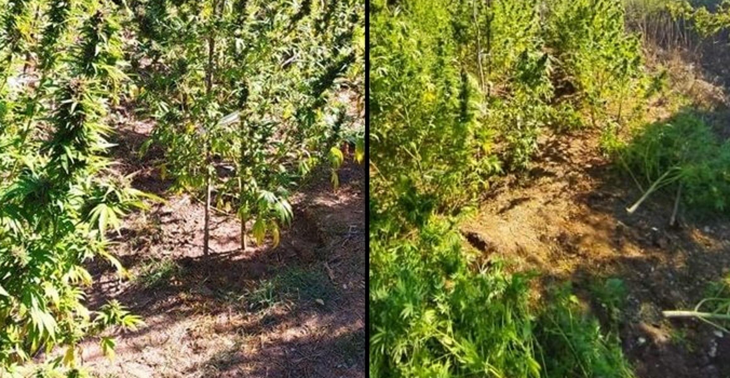 Εύβοια: Καλλιεργούσαν πάνω από 100 χασισόδεντρα που έφταναν και τα 3 μέτρα ύψος