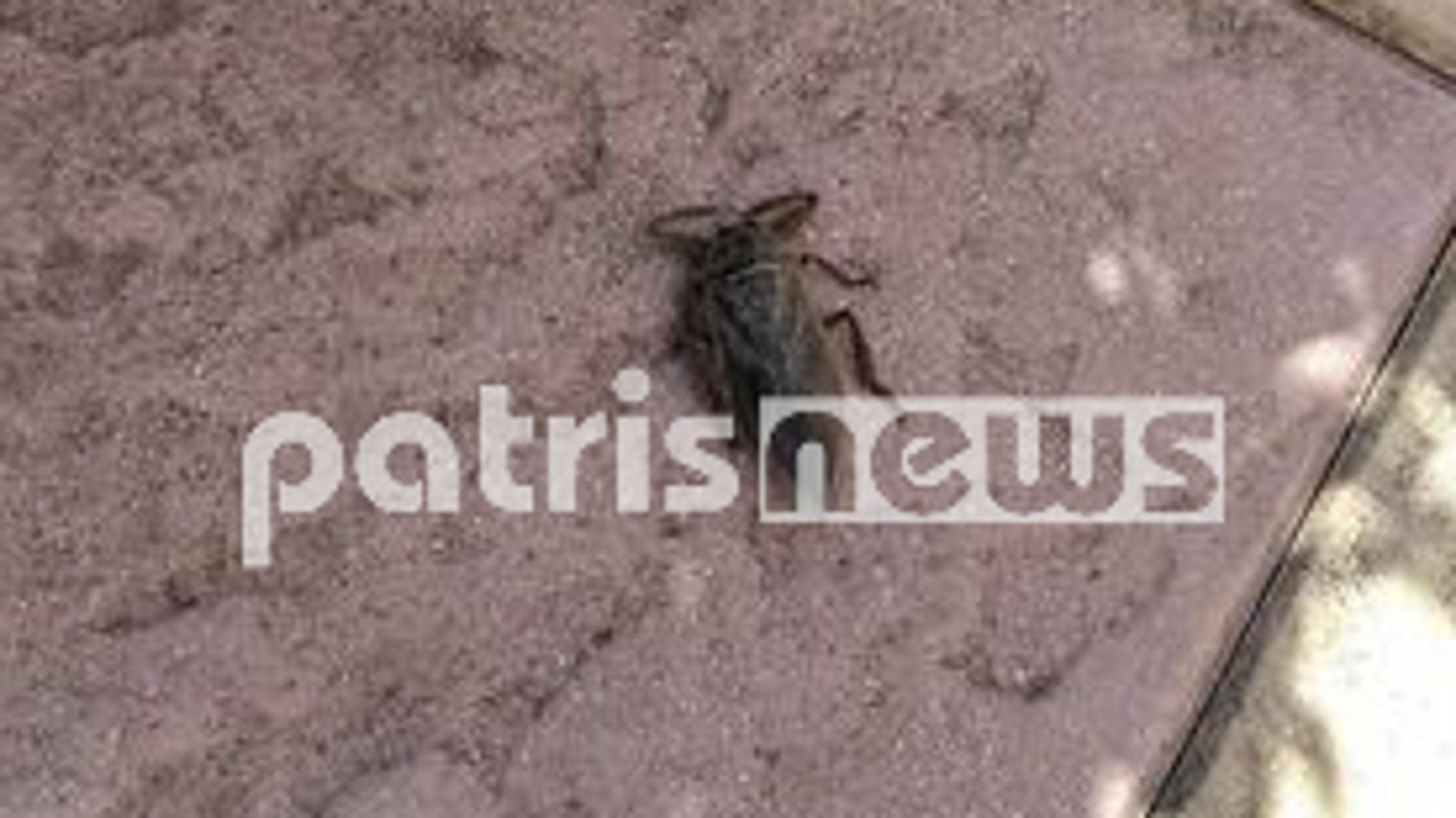 Λιθόκερος: Το δηλητηριώδες σαρκοφάγο έντομο αναστάτωσε τη Σπιάτζα
