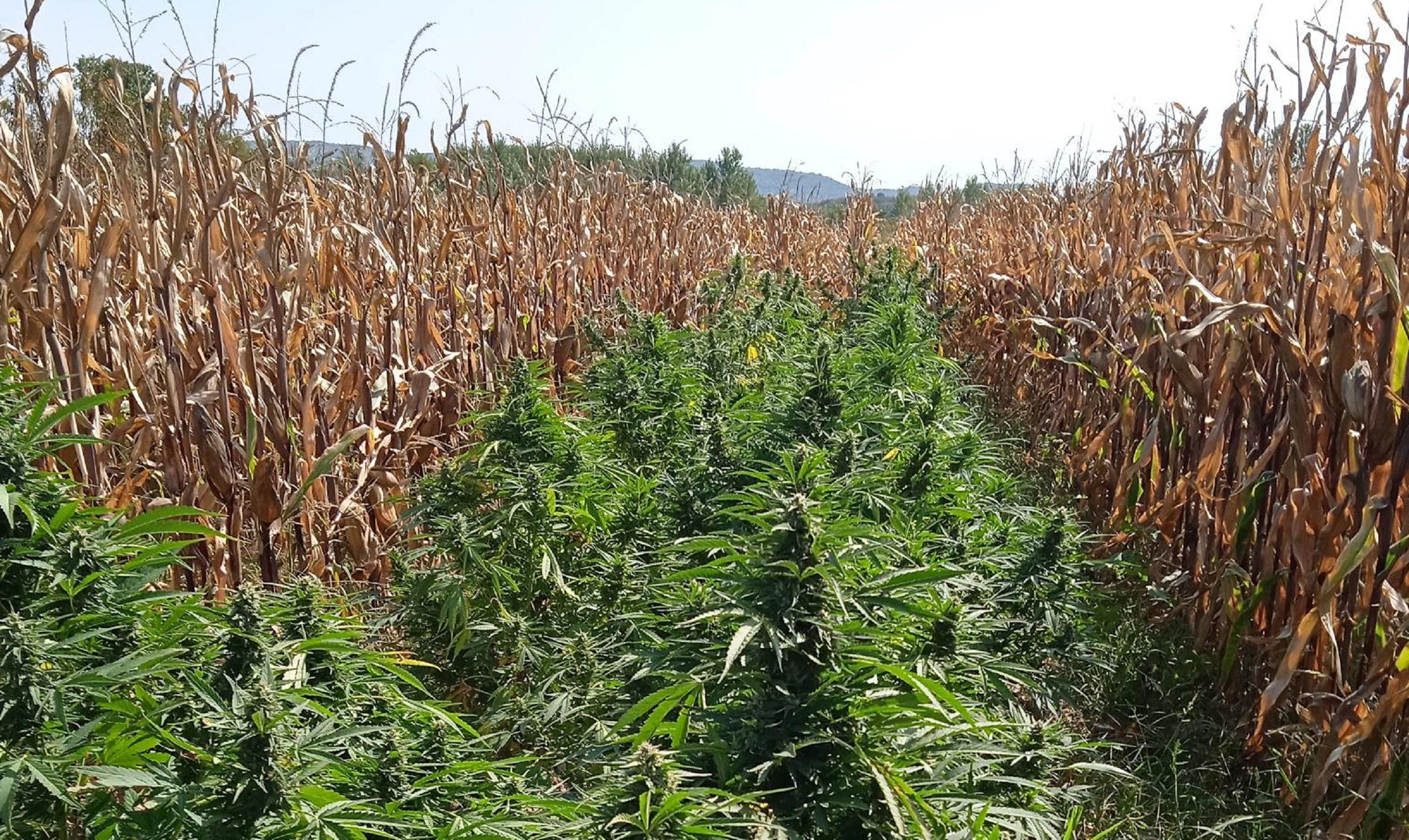 Πέλλα: Καλλιεργούσε χασίς σε ξένο χωράφι με καλαμπόκια